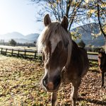 Pferd Horse Tirol Herbst autumn - Michael Deutschmann, Akad. Mentalcoach - Photography - Mentalcoaching Hypnose Seminare - Mental Austria