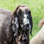 Schaf Sheep Herbst autumn - Michael Deutschmann, Akad. Mentalcoach - Photography - Mentalcoaching Hypnose Seminare - Mental Austria
