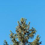 Fichenwipfel mit Zapfen Mountains Tirol Herbst autumn - Michael Deutschmann, Akad. Mentalcoach - Photography - Mentalcoaching Hypnose Seminare - Mental Austria