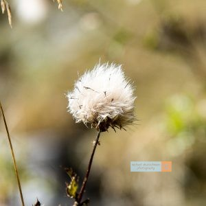 Obernberger See Blume Flower Distel Tirol Herbst autumn - Michael Deutschmann, Akad. Mentalcoach - Photography - Mentalcoaching Hypnose Seminare - Mental Austria